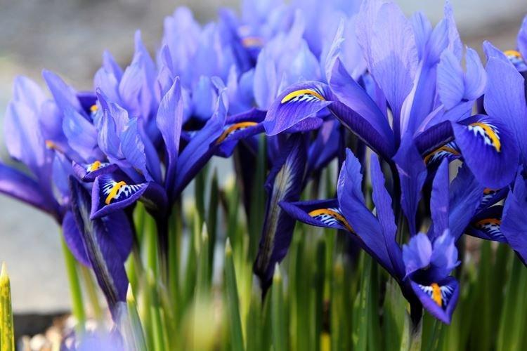Иридодиктиум - Самые неприхотливые цветы для дачи