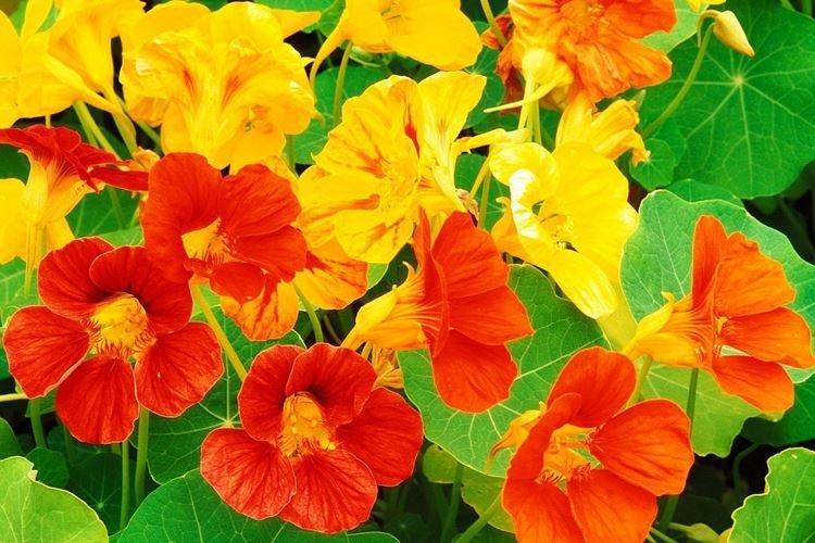Настурция - Самые неприхотливые цветы для дачи