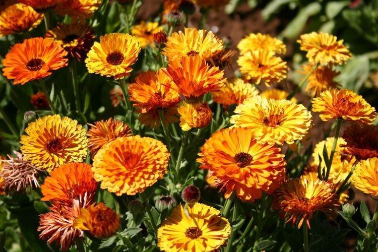 Календула - Самые неприхотливые цветы для дачи
