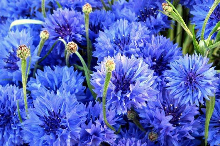 Василек - Самые неприхотливые цветы для дачи