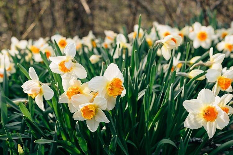 Нарцисс - Самые неприхотливые цветы для дачи