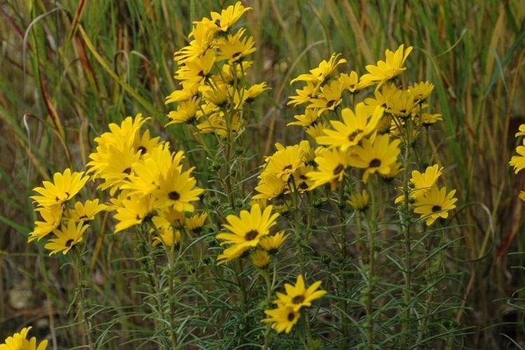 Подсолнечник иволистный - Самые неприхотливые цветы для дачи
