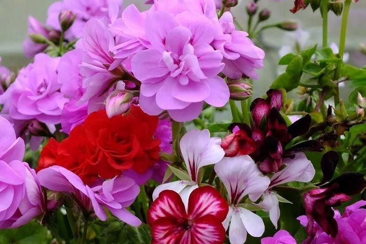 Герань - Самые неприхотливые цветы для дачи