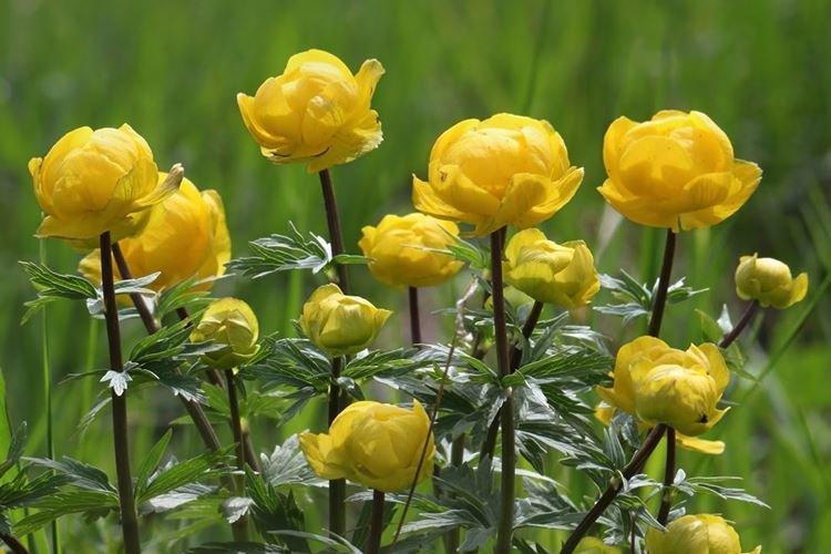 Купальница - Самые неприхотливые цветы для дачи