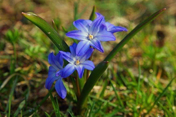 Хионодокс - Самые неприхотливые цветы для дачи