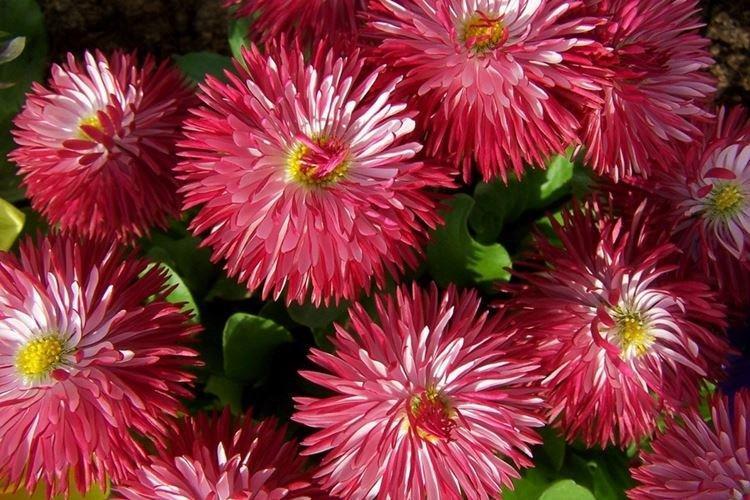 Астры - Самые неприхотливые цветы для дачи