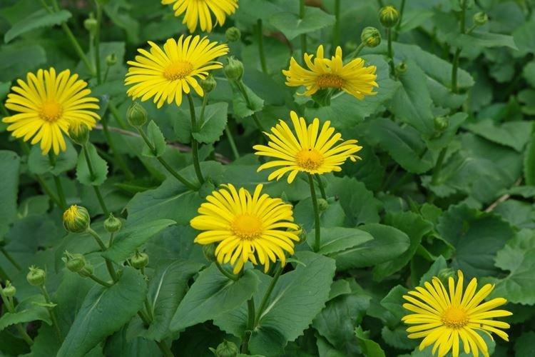 Дороникум - Самые неприхотливые цветы для дачи