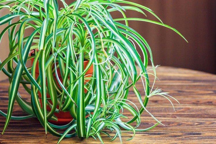 Хлорофитум - Самые неприхотливые комнатные растения