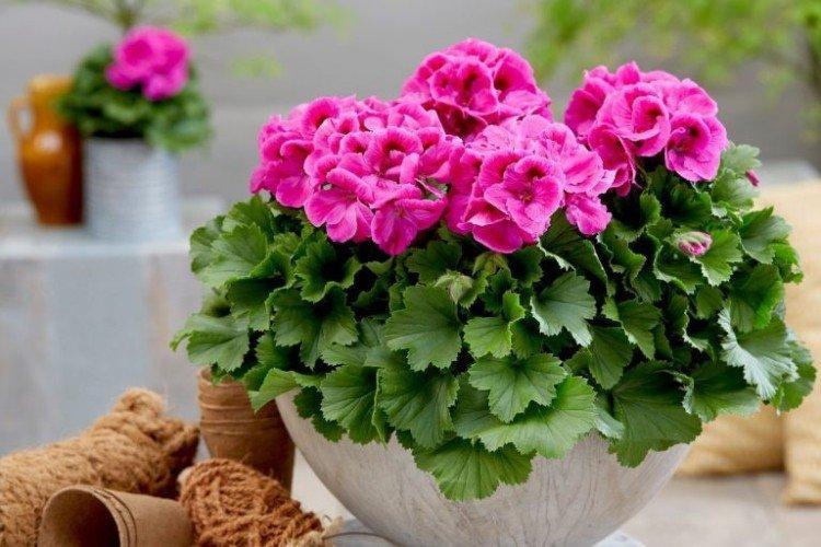 Герань - Самые неприхотливые комнатные растения