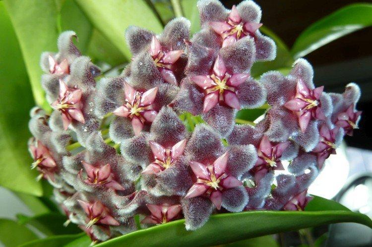 Хойя - Самые неприхотливые комнатные растения