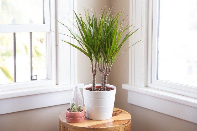 Драцена - Самые неприхотливые комнатные растения