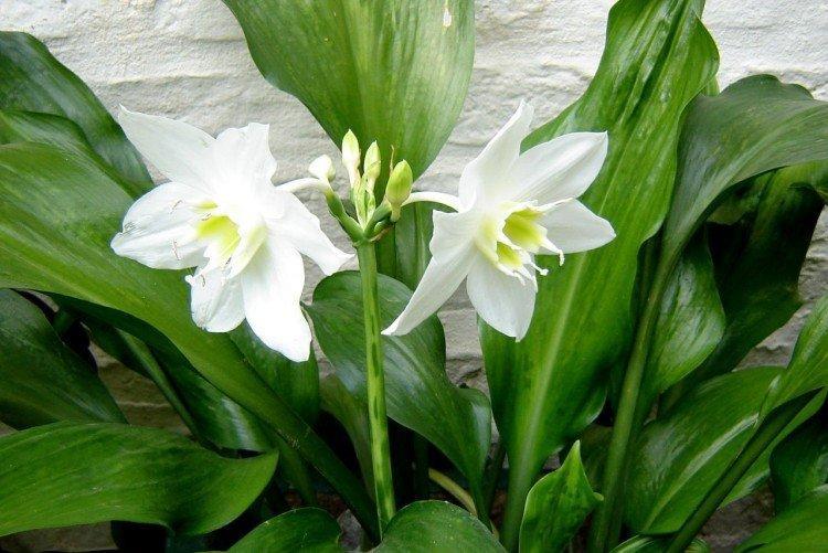 Эухарис - Самые неприхотливые комнатные растения