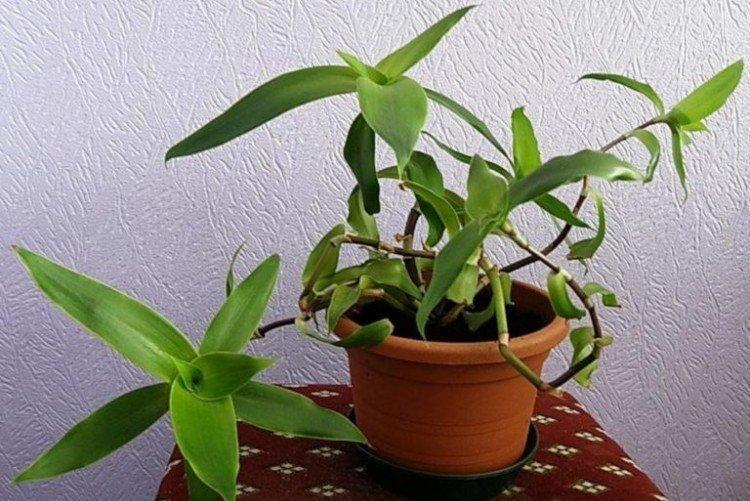 Золотой ус - Самые неприхотливые комнатные растения