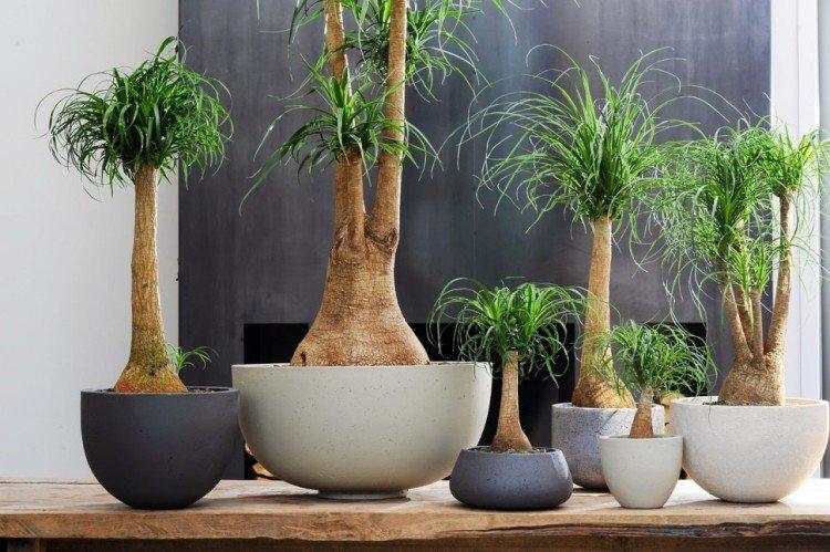 Нолина Бокарнея - Самые неприхотливые комнатные растения