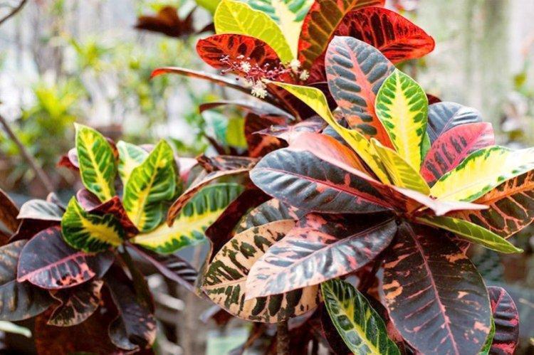 Кротон - Самые неприхотливые комнатные растения