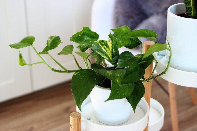 Сциндапсус - Самые неприхотливые комнатные растения