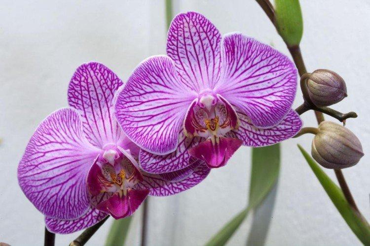 Фаленопсис - Самые неприхотливые комнатные растения