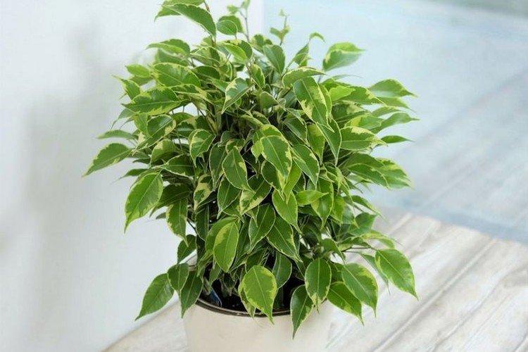 Фикус Бенджамина - Самые неприхотливые комнатные растения