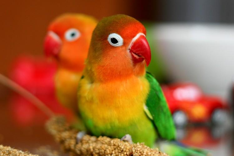 Сколько живут попугаи и как можно продлить их жизнь