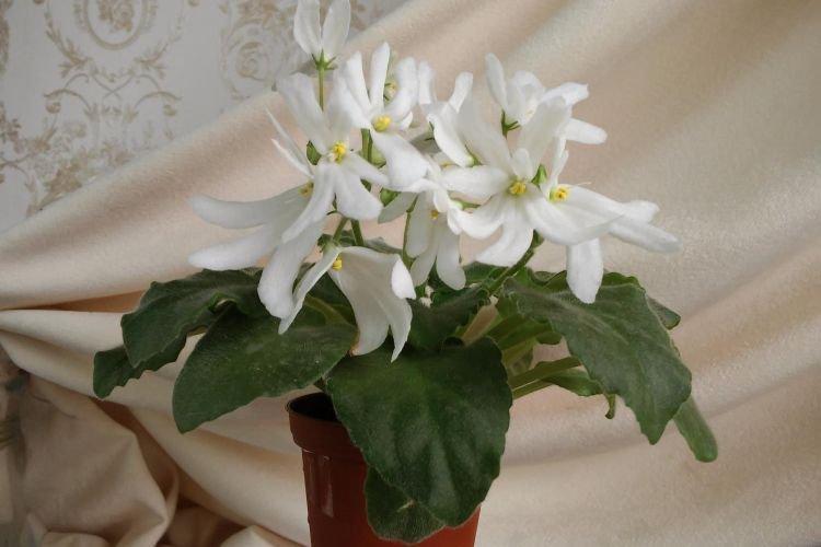 Сорт фиалки Lunar Lily White