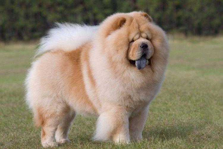 Чау-чау - Средние породы собак
