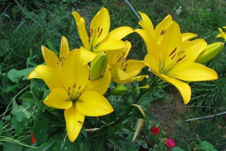 Нове Центо - Виды и сорта лилий