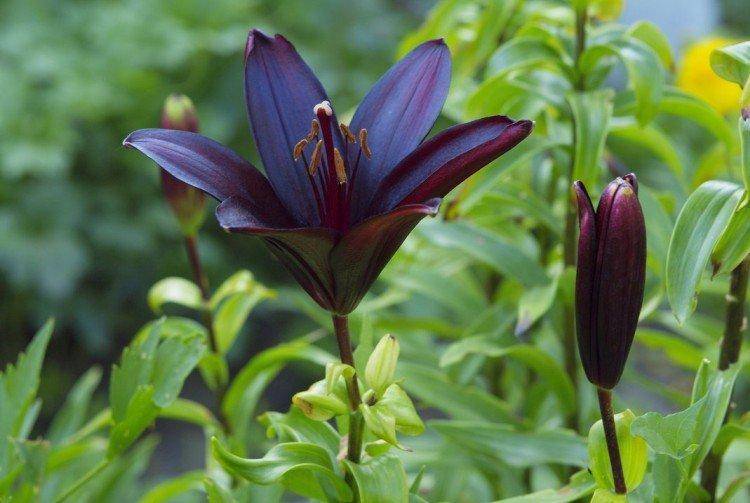 Блэк Чарм - Виды и сорта лилий