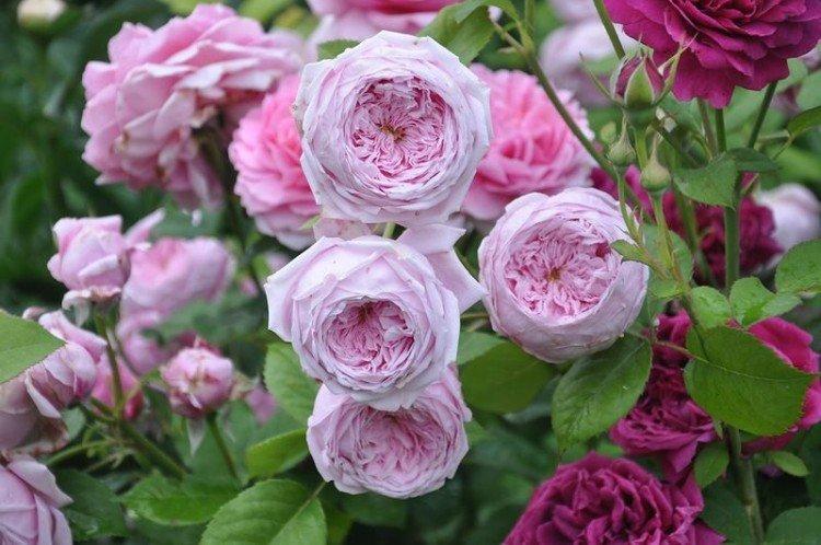 Спирит Оф Фридом - Виды и сорта кустовых роз