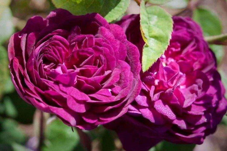 Кардинал Ришелье - Виды и сорта кустовых роз