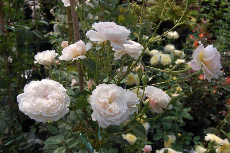 Олбрайтон Рамблер - Виды и сорта кустовых роз