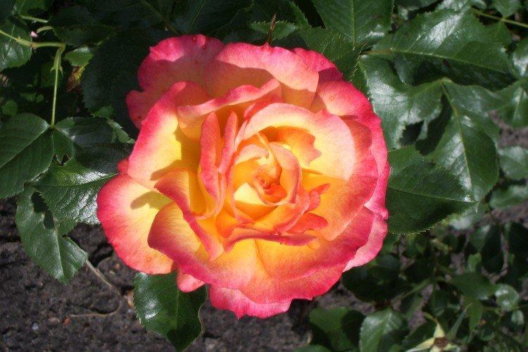 Бонанза - Виды и сорта кустовых роз