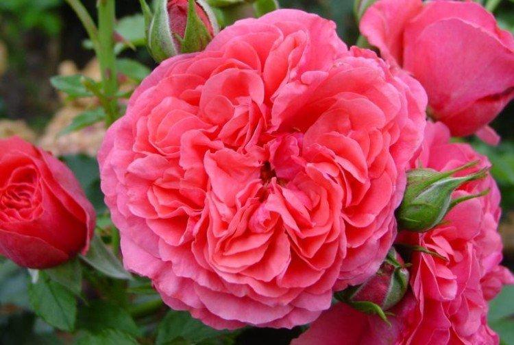 Розариум Ютерзен - Виды и сорта плетистых роз