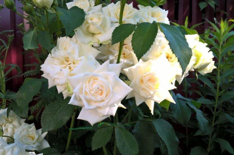 Ильзе Крон Супериор - Виды и сорта плетистых роз