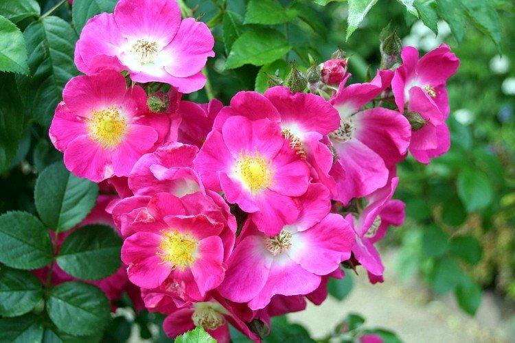 Американ Пиллар - Виды и сорта плетистых роз
