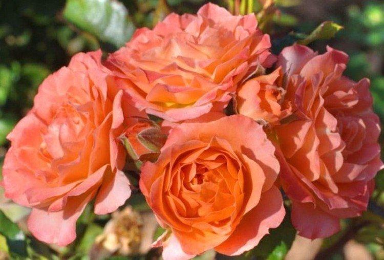 Колибри - Виды и сорта карликовых роз