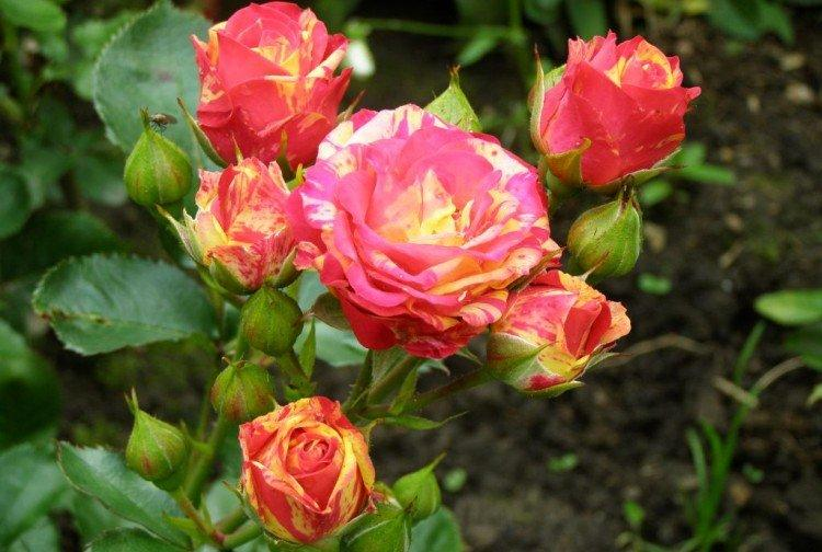 Бигуди - Виды и сорта карликовых роз
