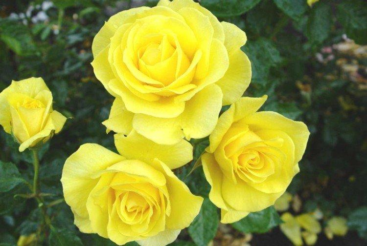 Голд Симфони - Виды и сорта карликовых роз
