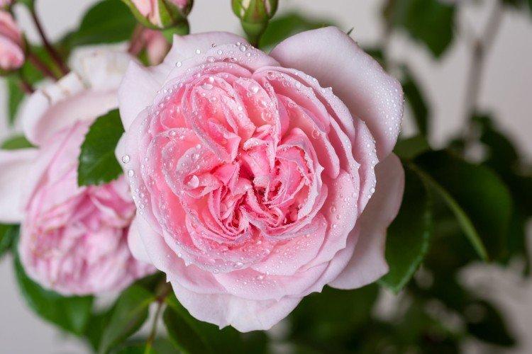Синдерелла - Виды и сорта карликовых роз