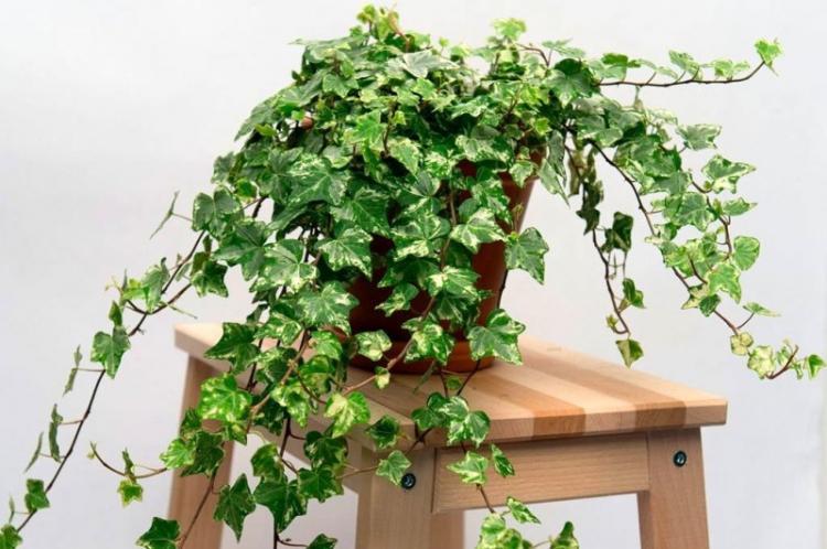 Плющ - Виды вьющихся комнатных растений