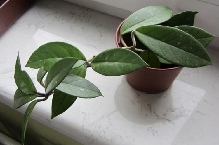 Хойя - Виды вьющихся комнатных растений