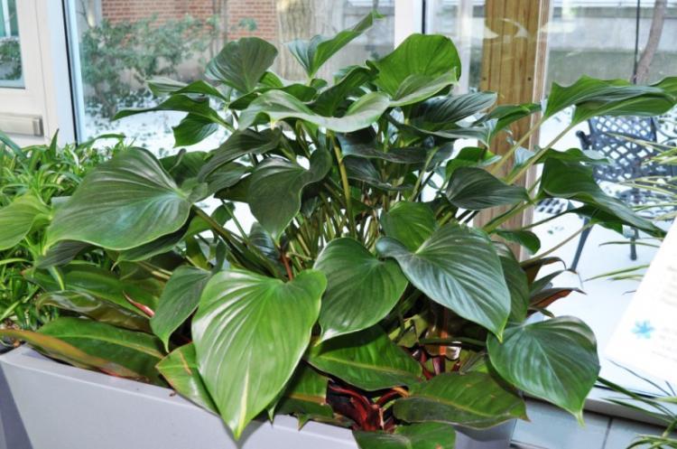 Филодендрон - Виды вьющихся комнатных растений
