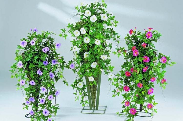 Ипомея - Виды вьющихся комнатных растений