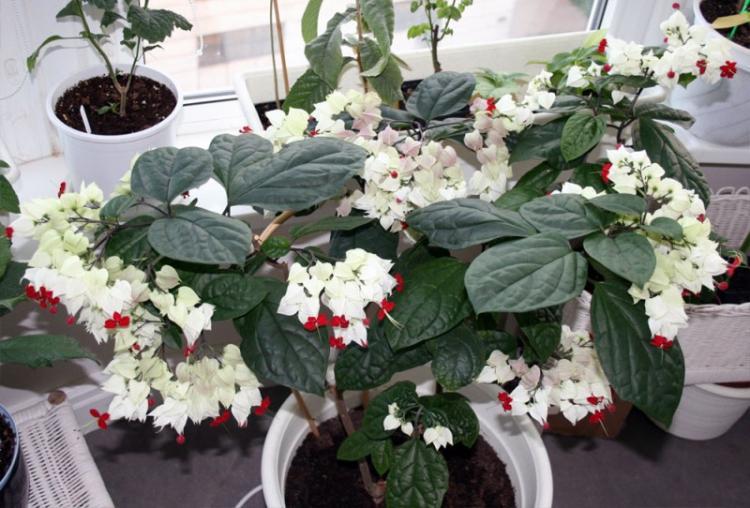 Клеродендрум - Виды вьющихся комнатных растений
