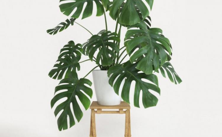 Монстера - Виды вьющихся комнатных растений