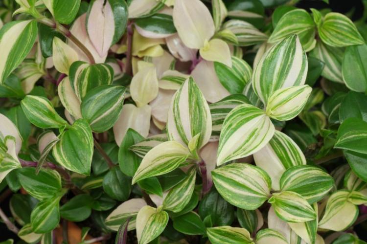 Традесканция - Виды вьющихся комнатных растений