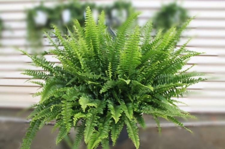 Нефролепис - Виды вьющихся комнатных растений