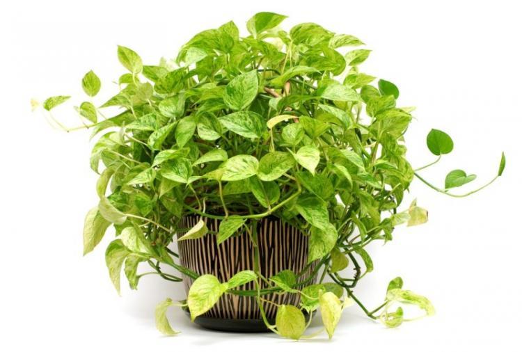 Сциндапсус - Виды вьющихся комнатных растений