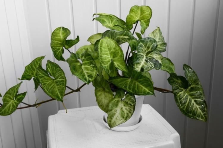 Сингониум - Виды вьющихся комнатных растений