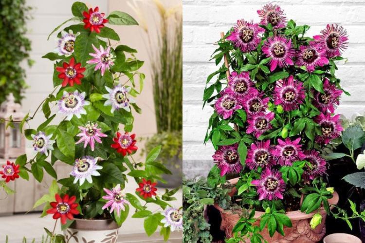 Пассифлора - Виды вьющихся комнатных растений