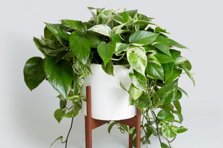 Полив - Уход за вьющимися комнатными растениями